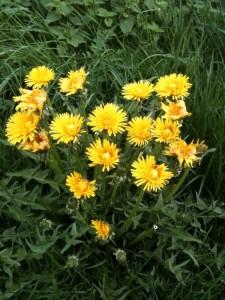 Löwenzahn-Ensemble mehrerer Blüten bilden eine Art Herz auf grüner Wiese.