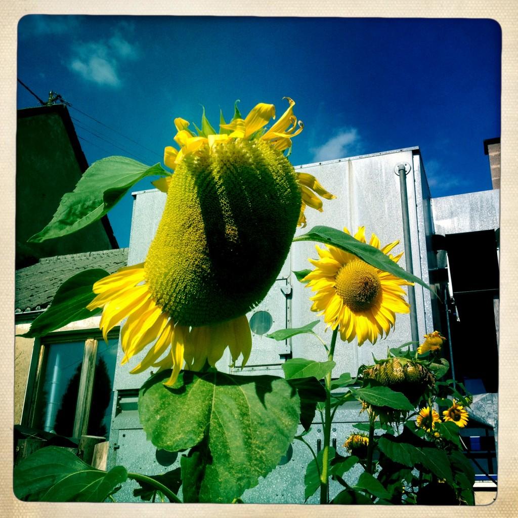 Irgendlinks müde Van Gogh Sonnenblumen