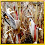 Erntereife Maispflanzen