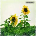 Sonnenblume aus Froschperspektive