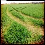 Decide! Wegeverzweigung in aufkeimendem Weizenfeld