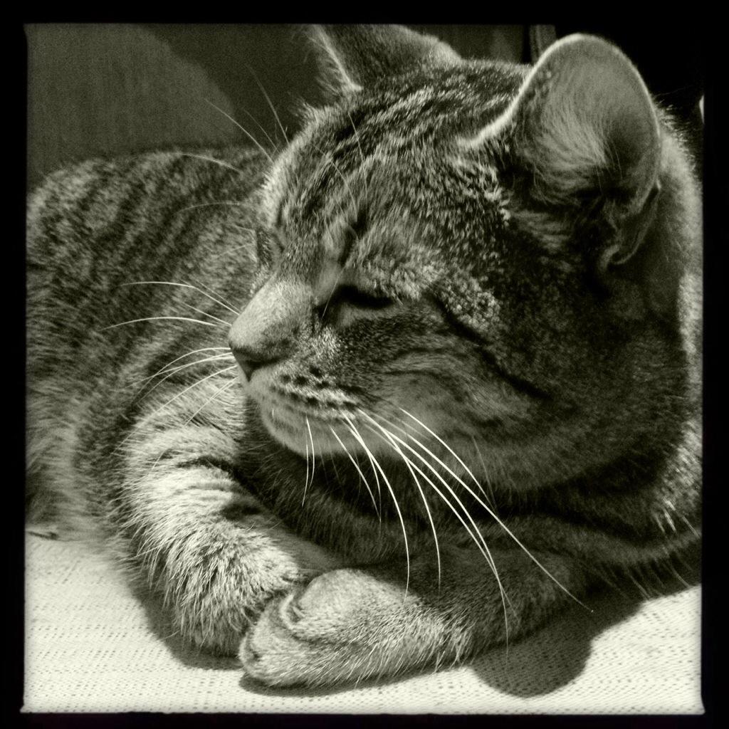 Katze im Profil Hipstamativ schwarz-weiß Foto