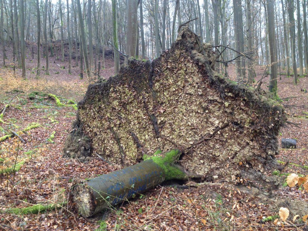 Im Wald nahe Diez. Eine sehr flache, senkrecht aufragende Baumscheibe eine windgefällten Baumes.