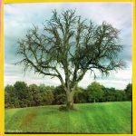 Ein alter Baum, kahl, auf einer Wiese.