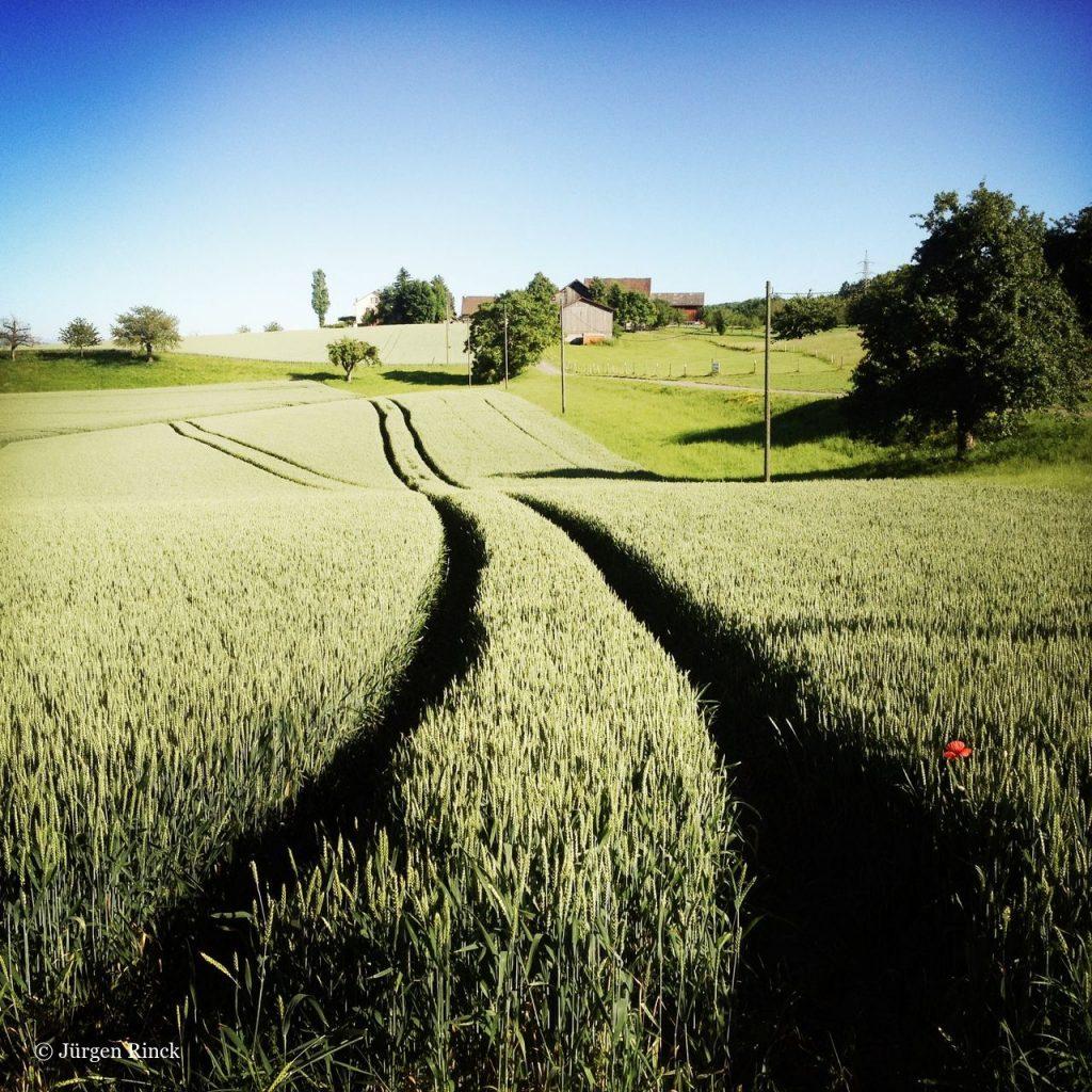 Graugrüner Weizen vor Hof. Eine einzelne Mohnblume. Blauer Himmel.