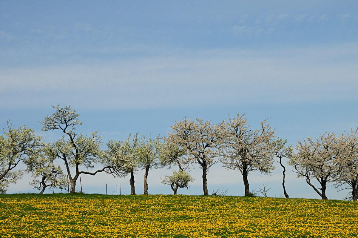 Weiß blühende Obstbäume stehen in Reih und Glied am Horizont einer grün-gelb blühenden Wiese. Blauer Himmel mit seichten Höhenwolkenschleiern.