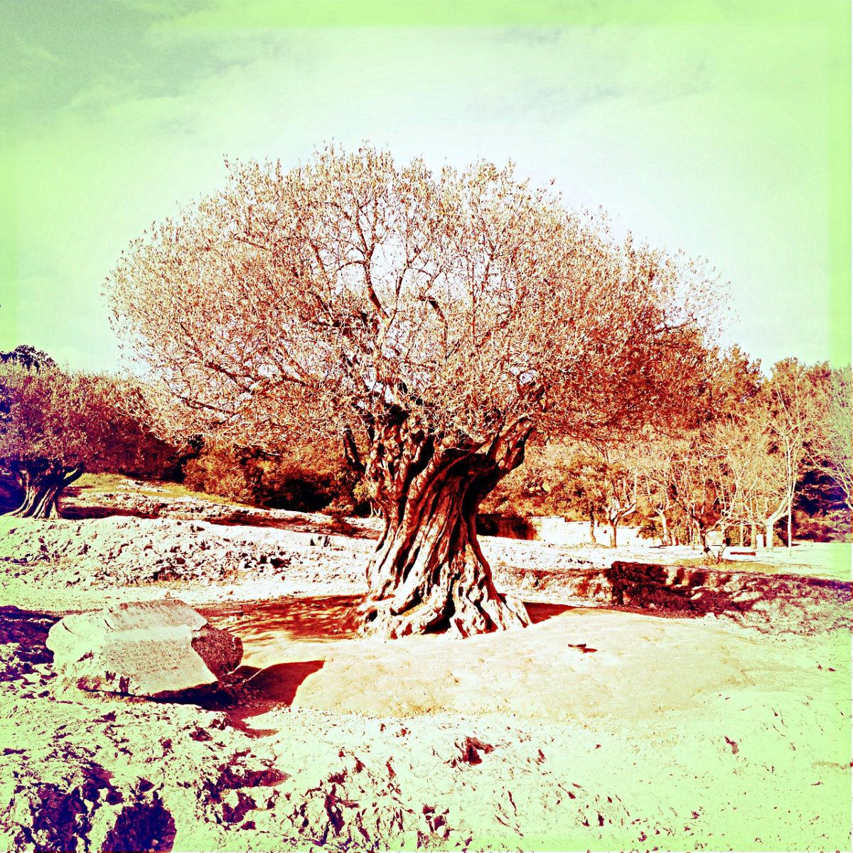 Dystopisches Retrofoto, quadratisch mit grünlichem Himmel und einem uralten, sich drehenden Olivenbaum