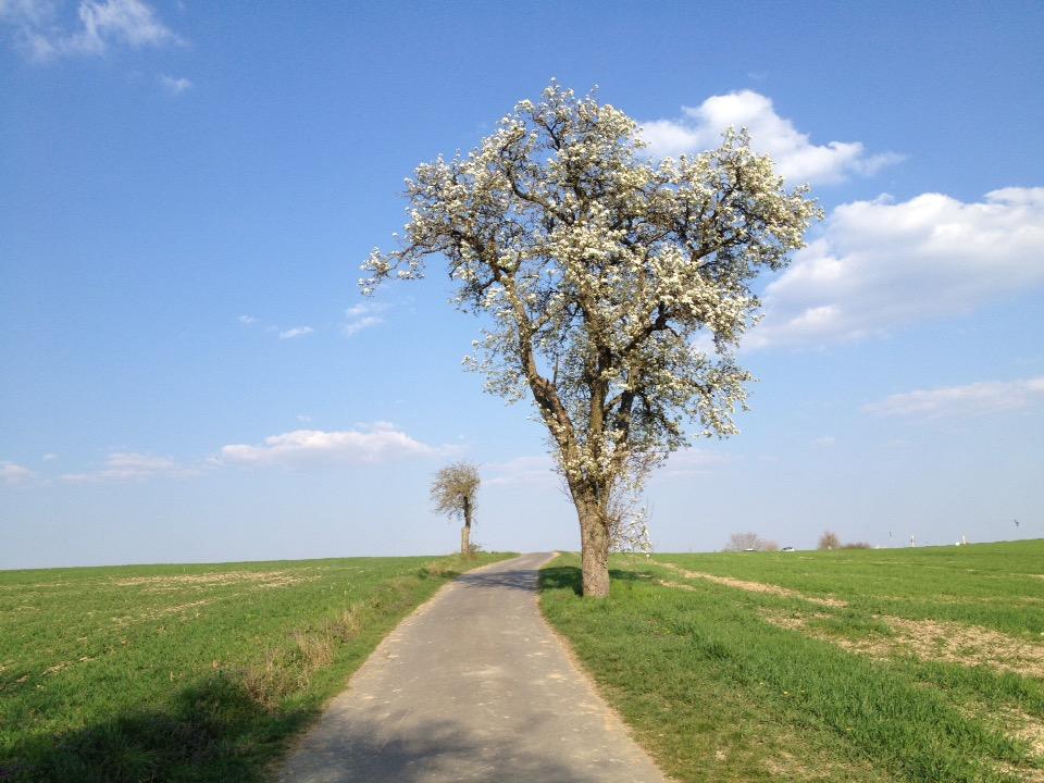 Prächtiger Birnbaum in voller Blüte vor leicht bewölktem Himmel