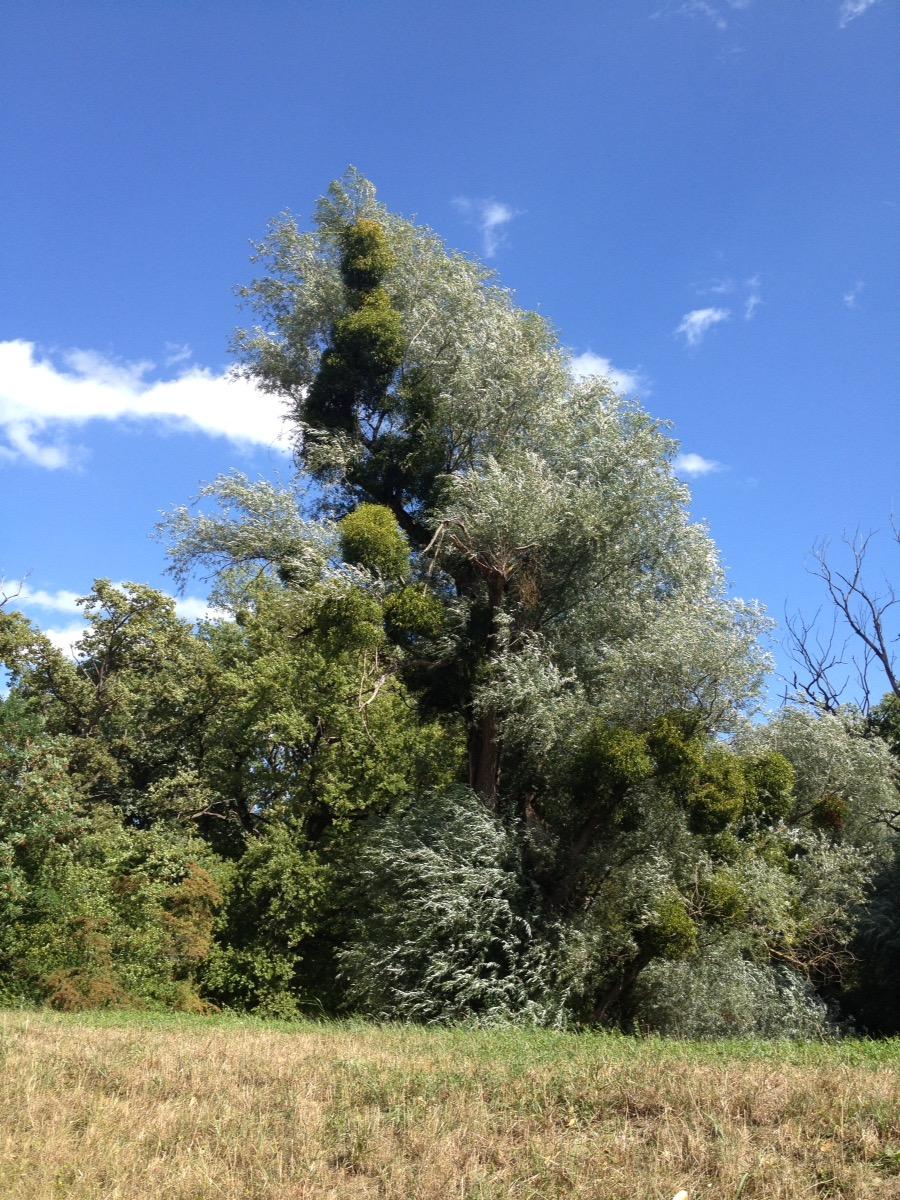Eine Phallanx von verschiedenen Bäumen, die sich im Sturmwind vor Blauhimmel nach links im Bild neigen.